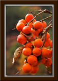 Persimmons - A Bunch!