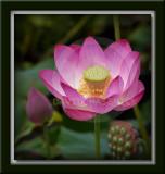 Lotus & Lily Flowers 연꽃 - Korea