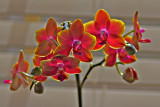 Backlit Orchid