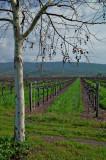 Vines at Trefethen