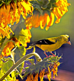 Gold Finch and Sun Flower