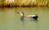 Canards et autres aquatique