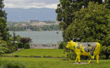 the yellow cow watches the plane take off