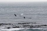 13 May 2011 - Small pod of killer whales cruising the south coast