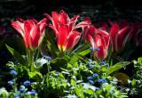 28 September 2011 - Tulips at the Wellington Botanic Garens