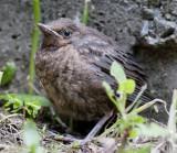 19 October 2011 - Baby Blackbird