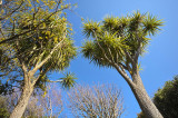 29 August 2012 - Spring is in the air - cabbage trees and kowhai