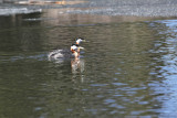 Red-Headed Grebes