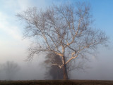 Sycamore in Fog by Drummer