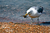 SEAGULL AND CRAB_9446.jpg