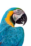 BLUE AND GOLD MACAW_9513.jpg