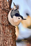 WHITE BREASTED NUTHATCH_2053.jpg