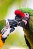 FRENCH KISSING MACAWS-2011_2317.jpg