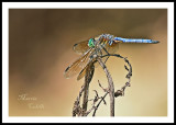 BLUE DASHER DRAGONFLY_0494.jpg