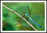 BLUE DASHER DRAGONFLY_1173.jpg