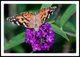 PAINTED LADY BUTTERFLY_0797.jpg