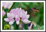 MELISSA BEE AND CROWN VETCH_0816.jpg