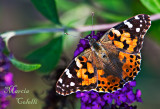 PAINTED LADY_0818-a.jpg