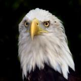 AMERICAN BALD EAGLE_1533.jpg