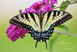 Eastern Tiger Swallowtail-9505.jpg