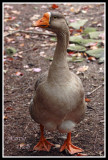 GREATER WHITE FRONTED GOOSE-1453.jpg