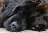 NEWFOUNDLAND DOG jpg