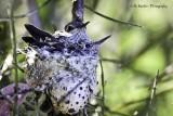 Two growing Hummingbird chicks