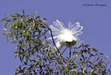 Snowy Egret - feather display