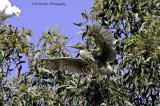 Night Heron- juvenile