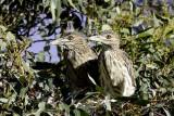 Night Herons - juveniles