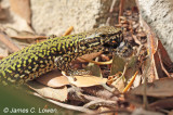 Common Wall & Western Green Lizards