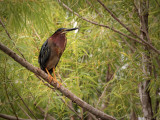 Green-backed Herons at Northwest Park
