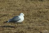 Ring-billed gull*