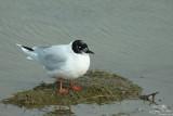 Little gull*