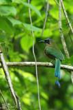 Momotidae