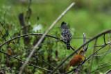 Barred antshrike (male above, female below)