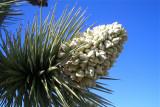 Wildflowers at Joshua Tree NP
