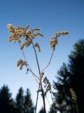 Soft plant