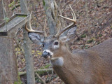 West Virginia Whitetail Deer ~ Olympus SP-560