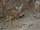 Whitetail Deer in WV~2011/2012