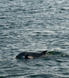 Dolphins at Playa Del Rey