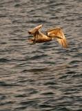 Pelican Take Off