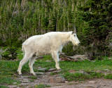 Mountain Goat at hidden lake