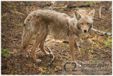 527-Coyote - Yosemite_DSC7739.jpg