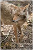528-Coyote - Yosemite_DSC7743.jpg