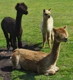 Bad Hair Day for Llamas IMG_1151.JPG