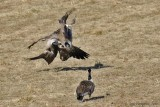 Fighting Canada Geese