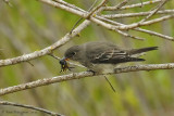 Olive-sided Flycatcher with Bumble Bee