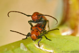Red Milkweed Bugs Mating
