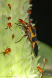 Large Milkweed Bug with Nymphs
